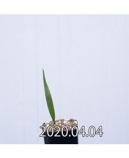 ラケナリア ムタビリス EQ467 子株 20365