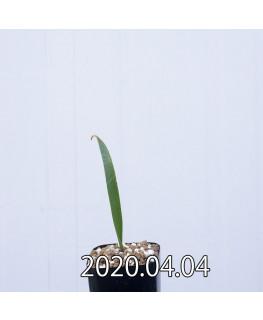 ラケナリア ムタビリス EQ467 子株 20369