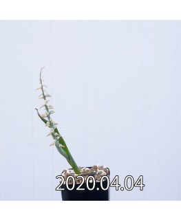 ラケナリア ムタビリス EQ467 子株 20372