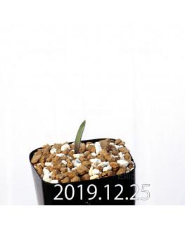 ラケナリア ムタビリス EQ467 子株 20374