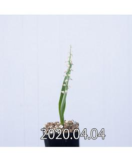 ラケナリア ムタビリス EQ467 子株 20376