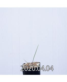 ラケナリア ムタビリス EQ467 子株 20381