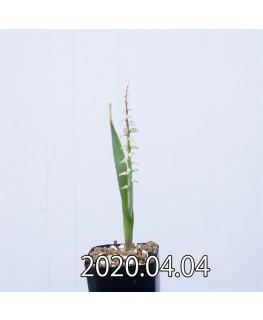 ラケナリア ムタビリス EQ467 子株 20385
