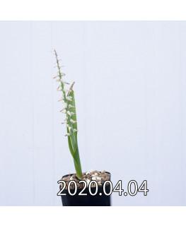 ラケナリア ムタビリス EQ467 子株 20386