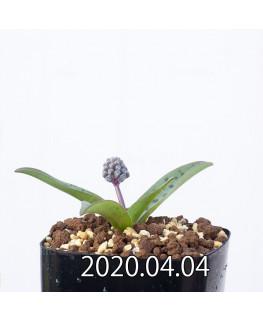 レデボウリア sp. aff. saundersonii 子株 20471