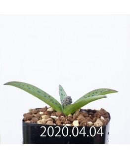 レデボウリア sp. aff. saundersonii 子株 20473