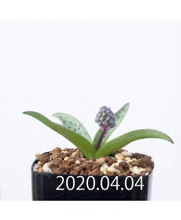 レデボウリア sp. aff. saundersonii 子株 20474