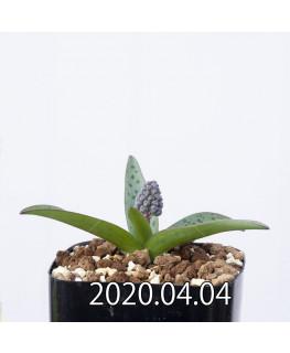 レデボウリア sp. aff. saundersonii 子株 20475