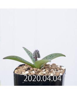 レデボウリア sp. aff. saundersonii 子株 20488
