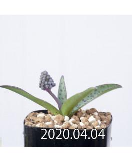 レデボウリア sp. aff. saundersonii 子株 20489