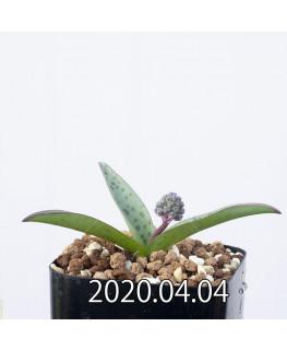レデボウリア sp. aff. saundersonii 子株 20491