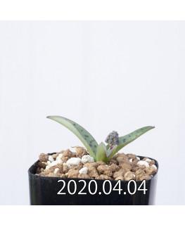 レデボウリア sp. aff. saundersonii 子株 20493