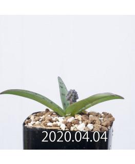 レデボウリア sp. aff. saundersonii 子株 20494