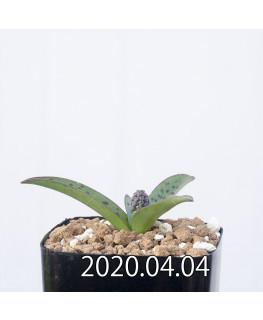 レデボウリア sp. aff. saundersonii 子株 20502