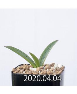 レデボウリア sp. aff. saundersonii 子株 20503