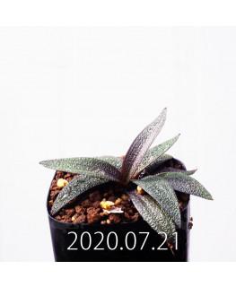 レデボウリア ガルピニー EQ739 子株 20511