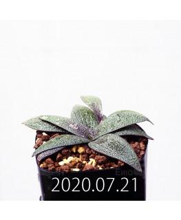 Ledebouria galpinii レデボウリア ガルピニー EQ739  20512