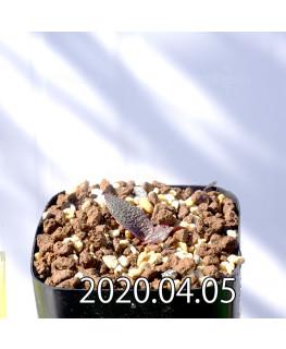 レデボウリア ガルピニー EQ739 子株 20512