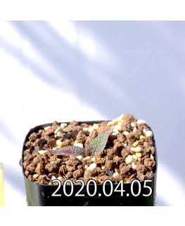 レデボウリア ガルピニー EQ739 子株 20522