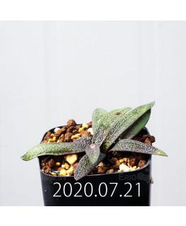 Ledebouria galpinii レデボウリア ガルピニー EQ739  20523