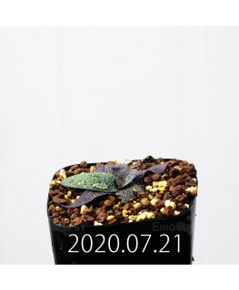 Ledebouria galpinii レデボウリア ガルピニー EQ739  20525