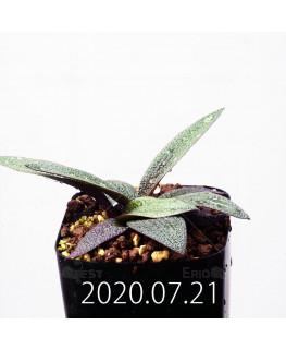 Ledebouria galpinii レデボウリア ガルピニー EQ739  20527