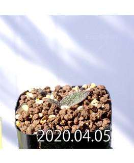 レデボウリア ガルピニー EQ739 子株 20529