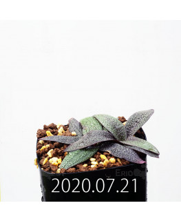 Ledebouria galpinii レデボウリア ガルピニー EQ739  20532