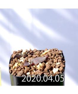 レデボウリア ガルピニー EQ739 子株 20532
