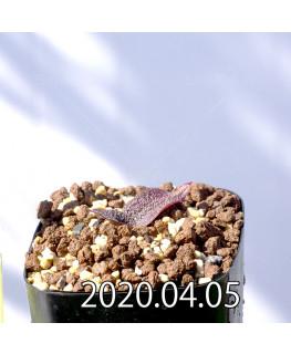 レデボウリア ガルピニー EQ739 子株 20536