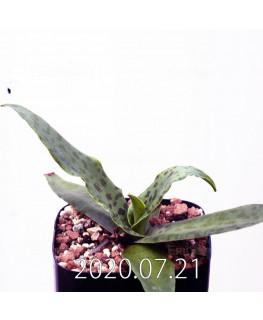 レデボウリア sp. JAA1038 実生 20567