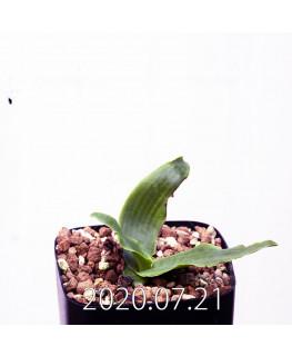 レデボウリア sp. JAA1038 実生 20568