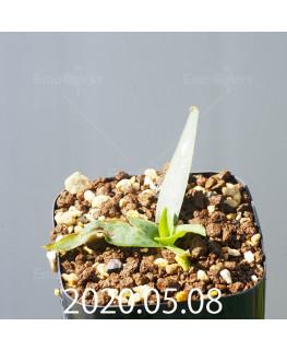 レデボウリア sp. JAA1038 実生 20570