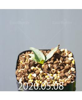 レデボウリア sp. JAA1038 実生 20571