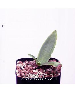 レデボウリア sp. JAA1038 実生 20572