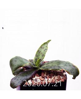 レデボウリア sp. JAA1038 実生 20573
