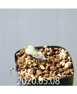 レデボウリア sp. JAA1038 実生 20576