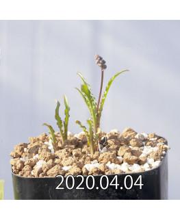 レデボウリア クリスパ 小型 子株 20689