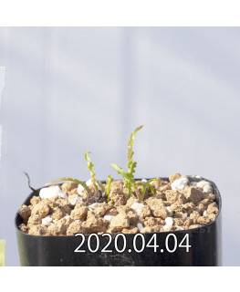 レデボウリア クリスパ 小型 子株 20691