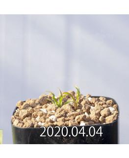 レデボウリア クリスパ 小型 子株 20693