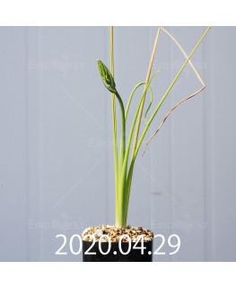 アルブカ フラグランス EQ887 実生 20750