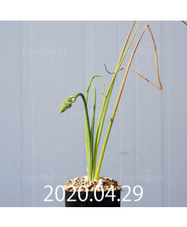 アルブカ フラグランス EQ887 実生 20751