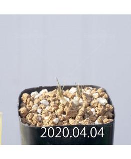 オーニソガラム サルディエニー ES16055 子株 20761