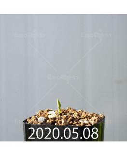 ドリミオプシス アトロプルプレア EQ756 実生 20835