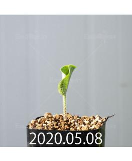 ドリミオプシス アトロプルプレア EQ756 実生 20838