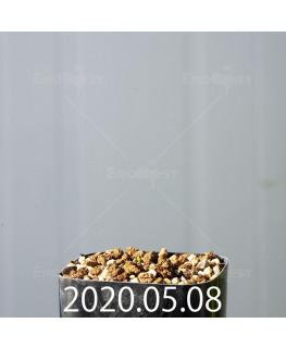 ドリミオプシス アトロプルプレア EQ756 実生 20840