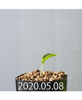 ドリミオプシス アトロプルプレア EQ756 実生 20847