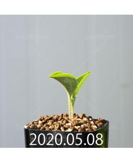 ドリミオプシス アトロプルプレア EQ756 実生 20852