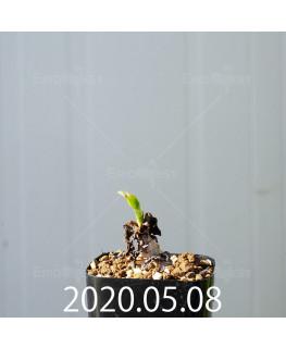 レデボウリア コンカラー DMC10146 子株 20857