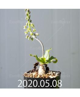 レデボウリア コンカラー DMC10146 子株 20862